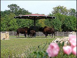 Erfurt Zoo Bisongehege